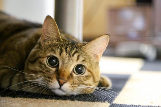 猫にタウリンの栄養効果は必須!大事な理由と猫に与える効果